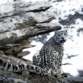 Snow leopard included to the Red List of Threatened species